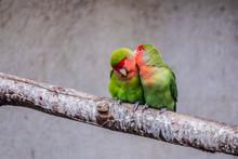 Couple D'oiseaux Inséparables