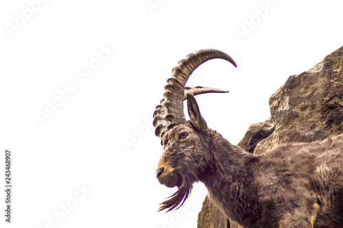 Tablou Canvas goat with horn