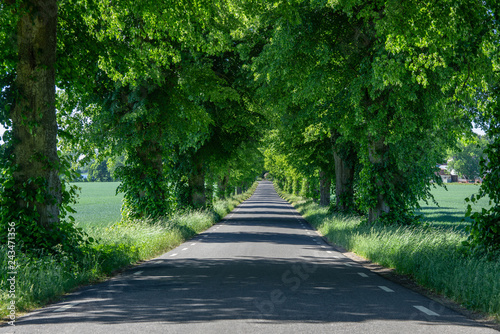 Foto Straight asphalt road passing a colonnade of green trees