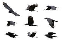 Group Of Black Crow Flying On ...