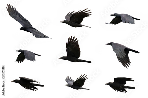 Group of black crow flying on white background. Animal. Black Bird.