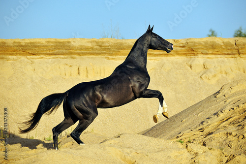 Canvastavla Extremely slender black akhal teke stallion leaping upwards in desert dunes