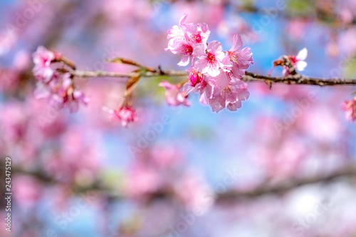Photo  Beautiful cherry blossoms sakura tree bloom in spring over the blue sky, copy space, close up