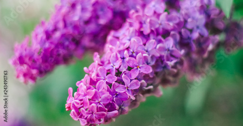 Foto op Canvas Hydrangea Lilac, Mother's Day, Valentine's Day, International Women's Day
