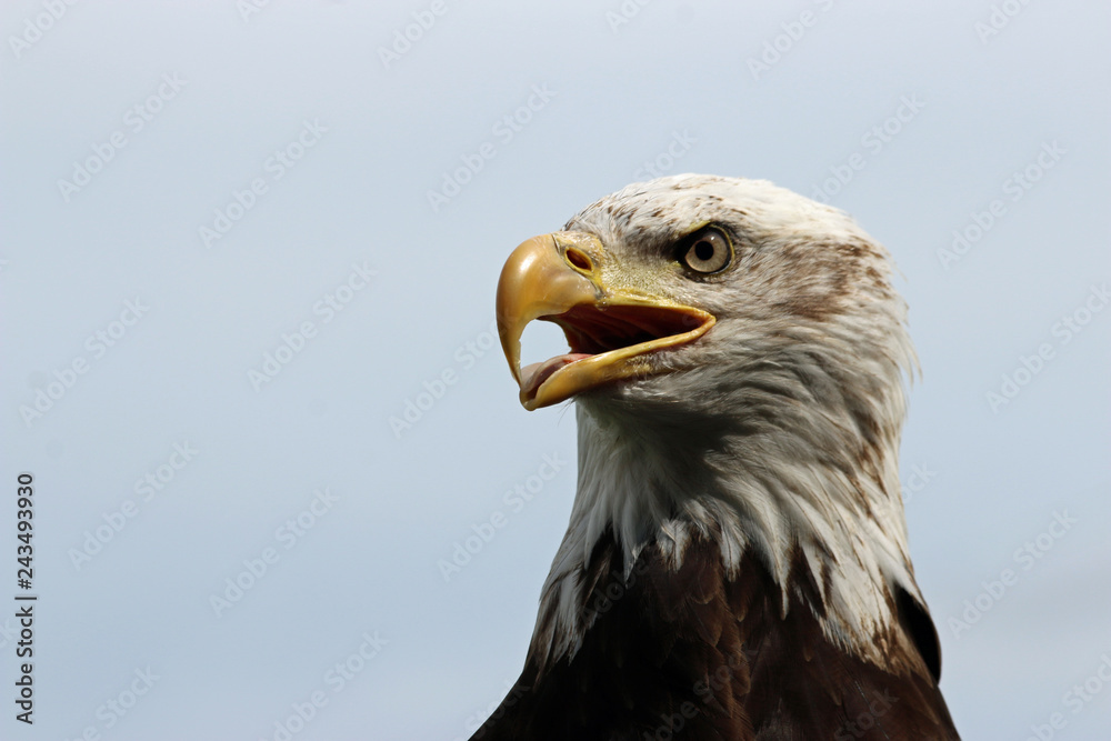 Head and shoulders of a sub-adult American bald eagle