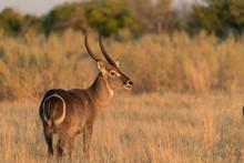 Waterbuck In Botswana Africa