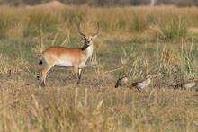 Red Lechwe In Botswana Africa