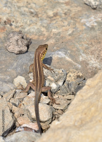 Photo  Lacerta trilineata - Balkan Green Lizard, Crete