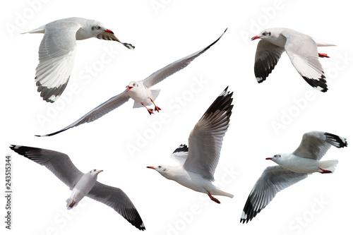 Fototapeta Set of seagulls flying isolated on white background