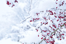 Red Hawthorn Berries Under The Snow Cover