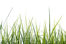 Long Fresh Green Grass Isolated On A White Background