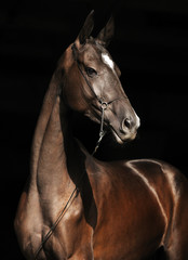 Portrait of black Akhal-Teke stallion in thin show halter, looking to the right. Vertical photo, isolated on black background,three quarter.