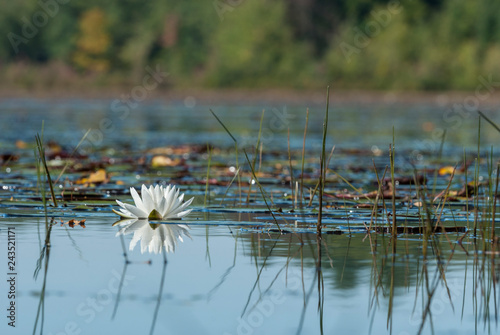 Fototapeta Water lily on leach pond