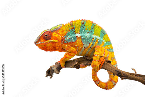 Photo sur Aluminium Cameleon Yellow blue lizard Panther chameleon isolated on white background