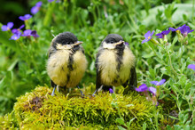 Two Young Great Tits Sitting On A Stone In A Herb Garden And Waiting For Food. (Parus Major).