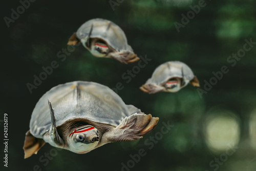 Fotografie, Obraz  Jumping cool turtles on dark green background close-up