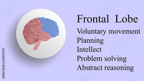 Photo  Frontal lobe vector