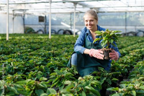Fototapeta Gardener working with Poinsettia