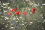 Fototapeta Kwiaty - Schowane w trawie