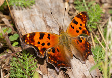 Polygonia Comma, Eastern Comma...