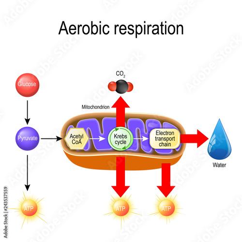 Photo Aerobic respiration. Cellular respiration