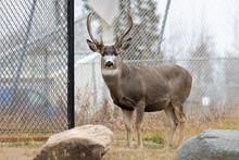 Mule Deer Buck In Town