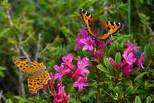 Farfalle Vanessa E Polygonia  Su Fioritura Di Rododendro (Rhododendron Ferrugineum)