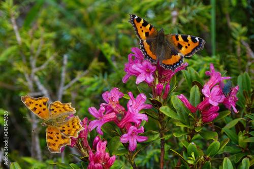 Fototapeta premium Motyle Vanessy i Polygonii na kwitnienie rododendronów (Rhododendron ferrugineum)