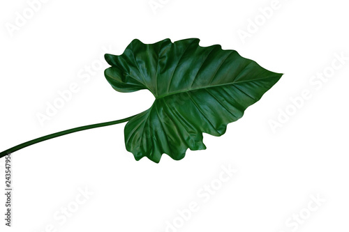 Obraz Dark green leaf of Philodendron species (Philodendron speciosum) the tropical foliage climbing plant isolated on white background, clipping path included. - fototapety do salonu