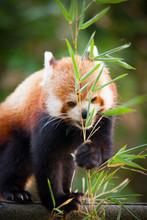Beautiful Red Panda Or Lesser ...