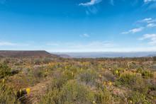 Yellow Bulbinellas (Bulbinella Nutans), On Top Of The Gannaga Pass