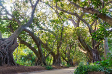 A Shady Alley Of A Giant Ficus...
