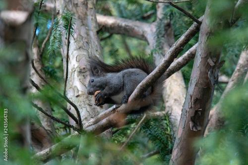 Photo Stands Panther Eichhörnchen auf Ast mit Nuss im Mund