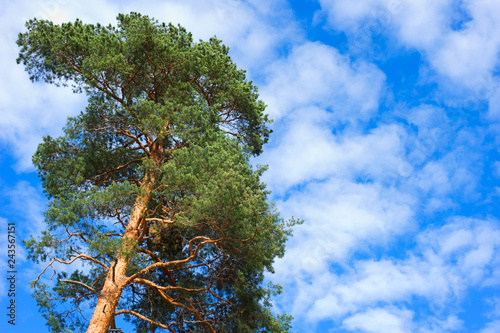 Fotografie, Obraz  Scots Pine tree (Pinus sylvestris) under the summer sky.