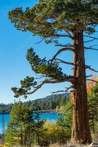 Fotografering windblown tree in the Sierra Nevada mountains
