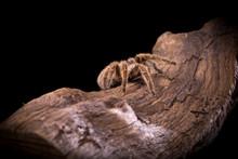 Hairy Spider Chilean Rose Tara...
