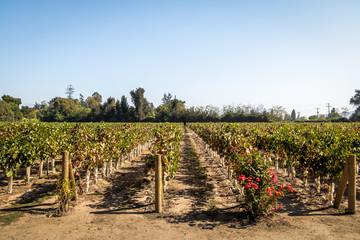 Fototapeta na wymiar Chilean Vineyard - Santiago, Chile