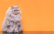 Portrait Of A Cute Fluffy Pet, A Cat On A Orange Background Looks Aside To The Place For The Text. Gray Adult Cat Isolated On A Orange Background. Copyspace, Pet Concept.