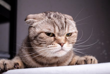 Thoroughbred Dissatisfied Cat ...