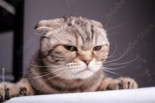 Valokuva  Thoroughbred dissatisfied cat Scottish Fold is on the table and evil looks