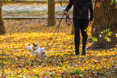 Fotografie, Obraz  Jack Russell Terrier on a walk with the owner in the autumn Park