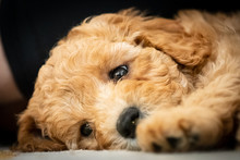 Australian Labradoodle Puppy L...