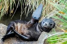 Sea Seal, Pinniped Sea Animal