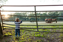 Cute Little Boy On Tip Toes Looking Into A Pasture Of Cows Through An Old Farm Fence At Sunset With Sun Flare