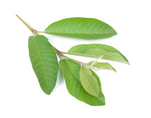 Guava Tree Leaves  Isolated On...