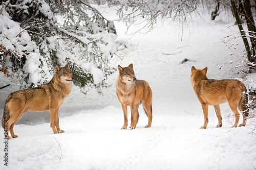 Wolves in winter in the forest