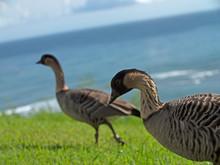 Nene Wild Hawaiian Geese Grass...