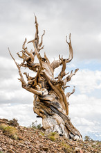 Great Basin Bristlecone Pine (Pinus Longaeva) In Ancient Bristlecone Pine Forest In The White Mountains Of Inyo County, CA