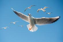 Single Seagull Flying In Blue ...
