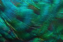 Closeup Peacock Feathers